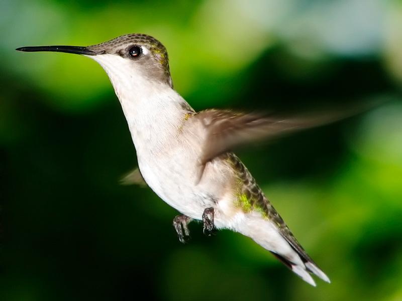 Hummingbird, el colibrí de Google